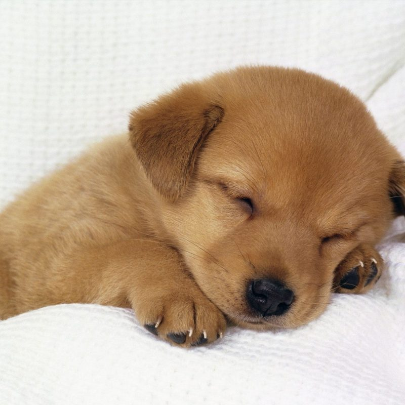 10 Latest Cute Baby Dogs Wallpaper FULL HD 1080p For PC Background 2020 free download i could watch this puppy sleeping the whole day cute pinterest 800x800