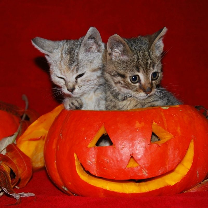 10 Top Cute Cat Halloween Wallpaper FULL HD 1920×1080 For PC Background 2018 free download image detail for cute halloween kitties wallpaper autumn 800x800