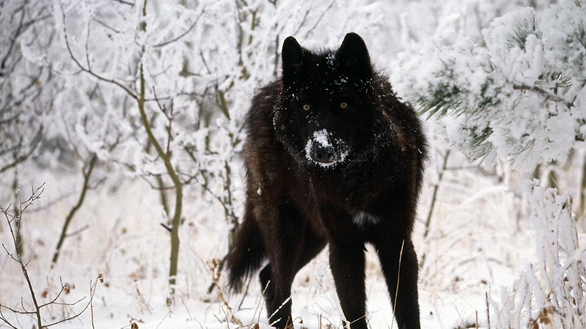 images about wolves on pinterest 1920×1080 wolves hd wallpapers (45