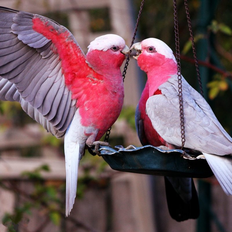 10 Top Images Of Love Bird FULL HD 1920×1080 For PC Background 2020 free download images of love birds and wallpaper 800x800