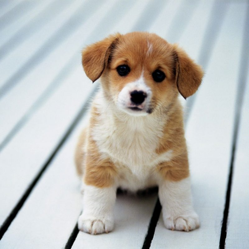 10 Top Dog Wallpaper For Android FULL HD 1080p For PC Background 2018 free download inspiring cutest puppy breeds in the world and dog that backgrounds 800x800
