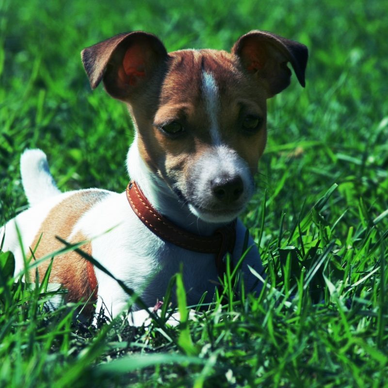 10 Most Popular Jack Russell Terrier Wallpapers FULL HD 1080p For PC Background 2020 free download jack russel full hd fond decran and arriere plan 2560x1440 id 800x800