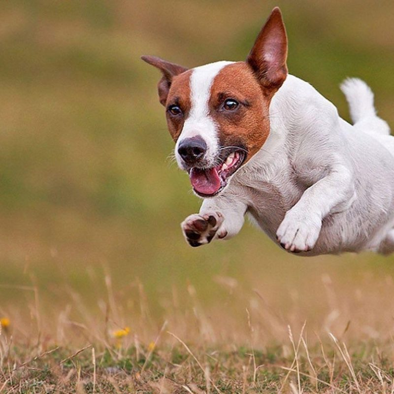 10 Most Popular Jack Russell Terrier Wallpapers FULL HD 1080p For PC Background 2020 free download jack russell terrier wallpapers wallpaper cave 800x800