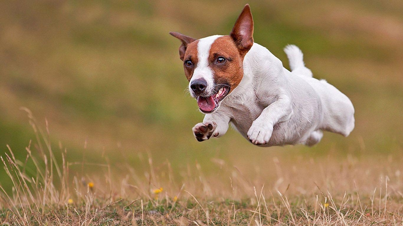 jack russell terrier wallpapers - wallpaper cave