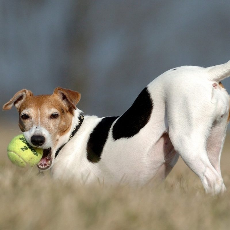 10 Most Popular Jack Russell Terrier Wallpapers FULL HD 1080p For PC Background 2020 free download jack russell terrier with a ball photo and wallpaper beautiful jack 800x800