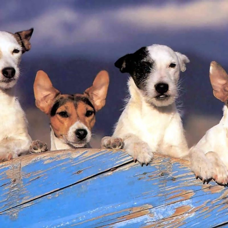 10 Most Popular Jack Russell Terrier Wallpapers FULL HD 1080p For PC Background 2020 free download jackrussellwallpapers2 1024x768 pixels food pinterest 800x800