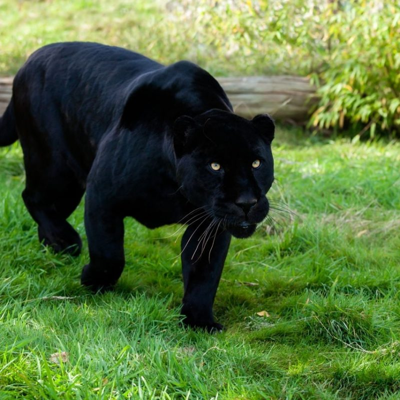 10 Best Pictures Of Black Jaguars FULL HD 1080p For PC Desktop 2018 free download jaguar animal facts 800x800