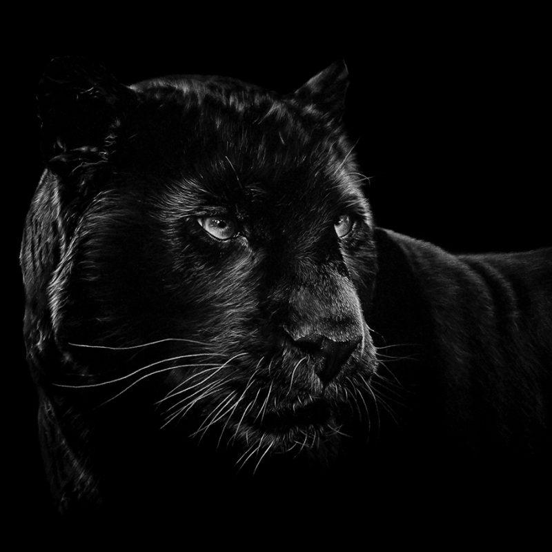 10 Latest Black And White Jaguar Pictures FULL HD 1920×1080 For PC Desktop 2021 free download jaguar davidbayo 800x800