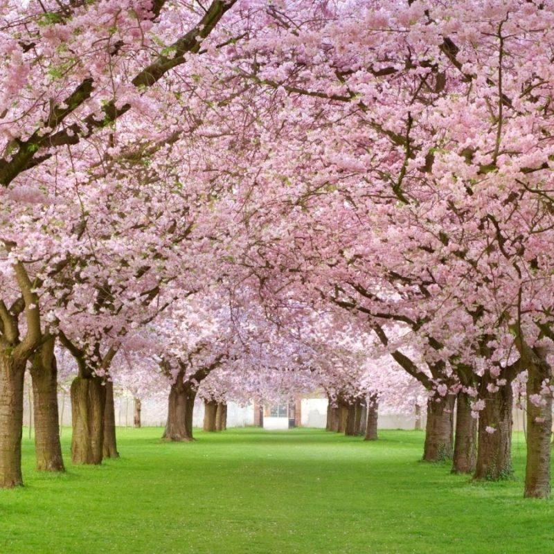 10 Best Cherry Blossom Wallpaper Desktop FULL HD 1080p For PC Desktop 2018 free download japanese cherry blossoms wallpaper 800x800