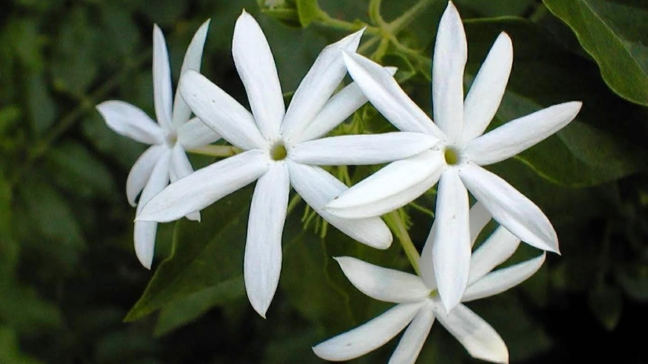 10 latest images of jasmine flowers full hd 1080p for pc background title jasmine flower a symbol of affection and eternal love youtube dimension 1280 x 720 file type jpgjpeg izmirmasajfo