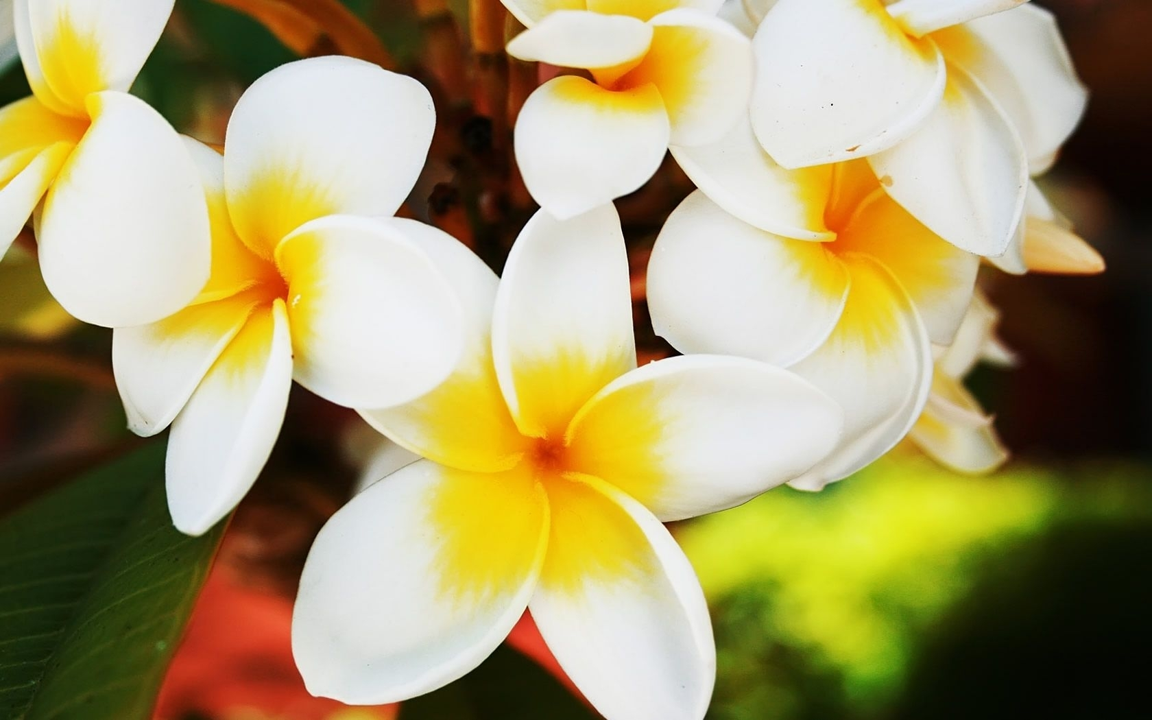 10 Latest Images Of Jasmine Flowers Full Hd 1080p For Pc Background