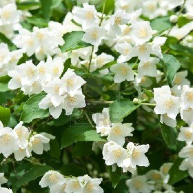 10 Latest Images Of Jasmine Flowers FULL HD 1080p For PC Background 2021 free download jasmine flower jasmine flower wallpaper for android flowers 800x800