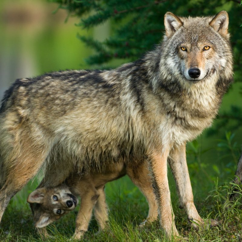 10 Most Popular Pictures Of A Timber Wolf FULL HD 1080p For PC Desktop 2018 free download kbrf news talk radio timber wolf hit near parkers prairie 800x800