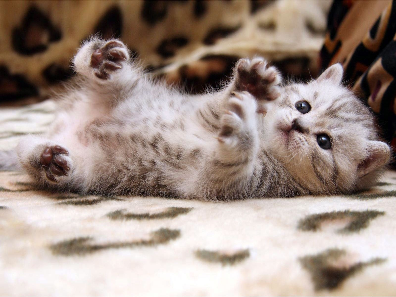 keywords cute cat wallpapers hd and tags 1600×1200 images of cute