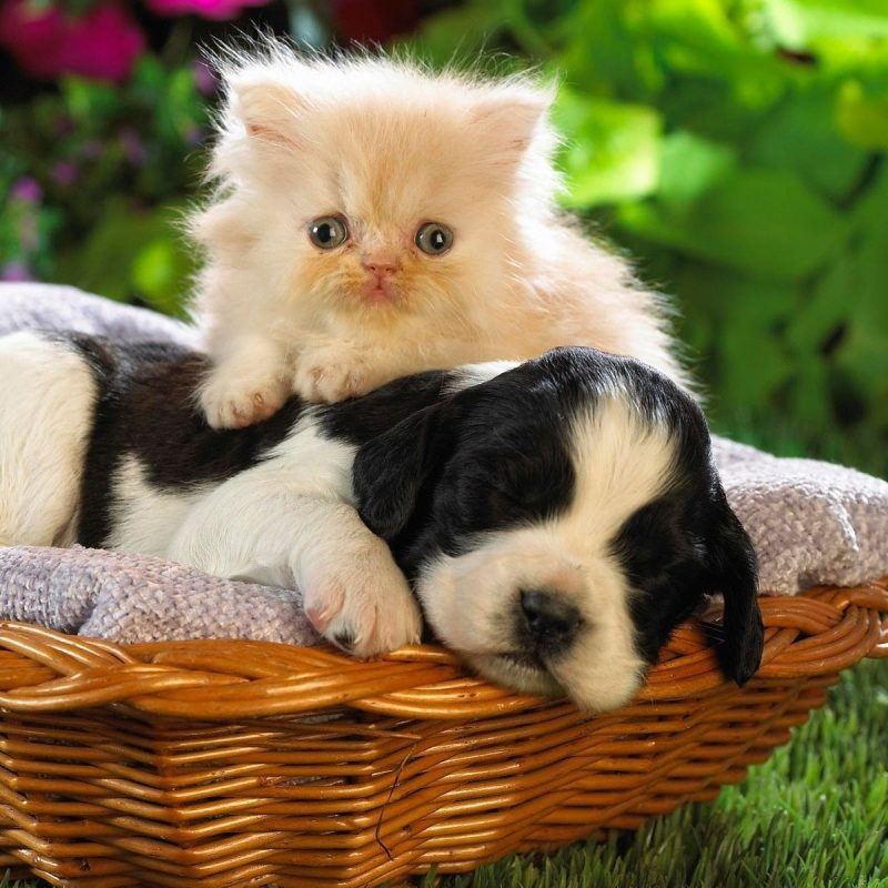 10 New Kitten And Puppy Wallpaper FULL HD 1920×1080 For PC Desktop 2020 free download kitten and puppy wallpaper animal wallpapers 6928 800x800
