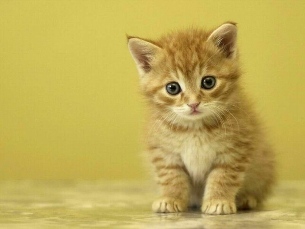 kitten wallpapers free | animals wallpapers | pinterest | wallpaper