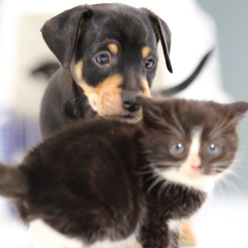 10 Latest Cute Puppy And Kitten Pics FULL HD 1080p For PC Desktop 2018 free download kittens meet puppies for the first time youtube 800x800