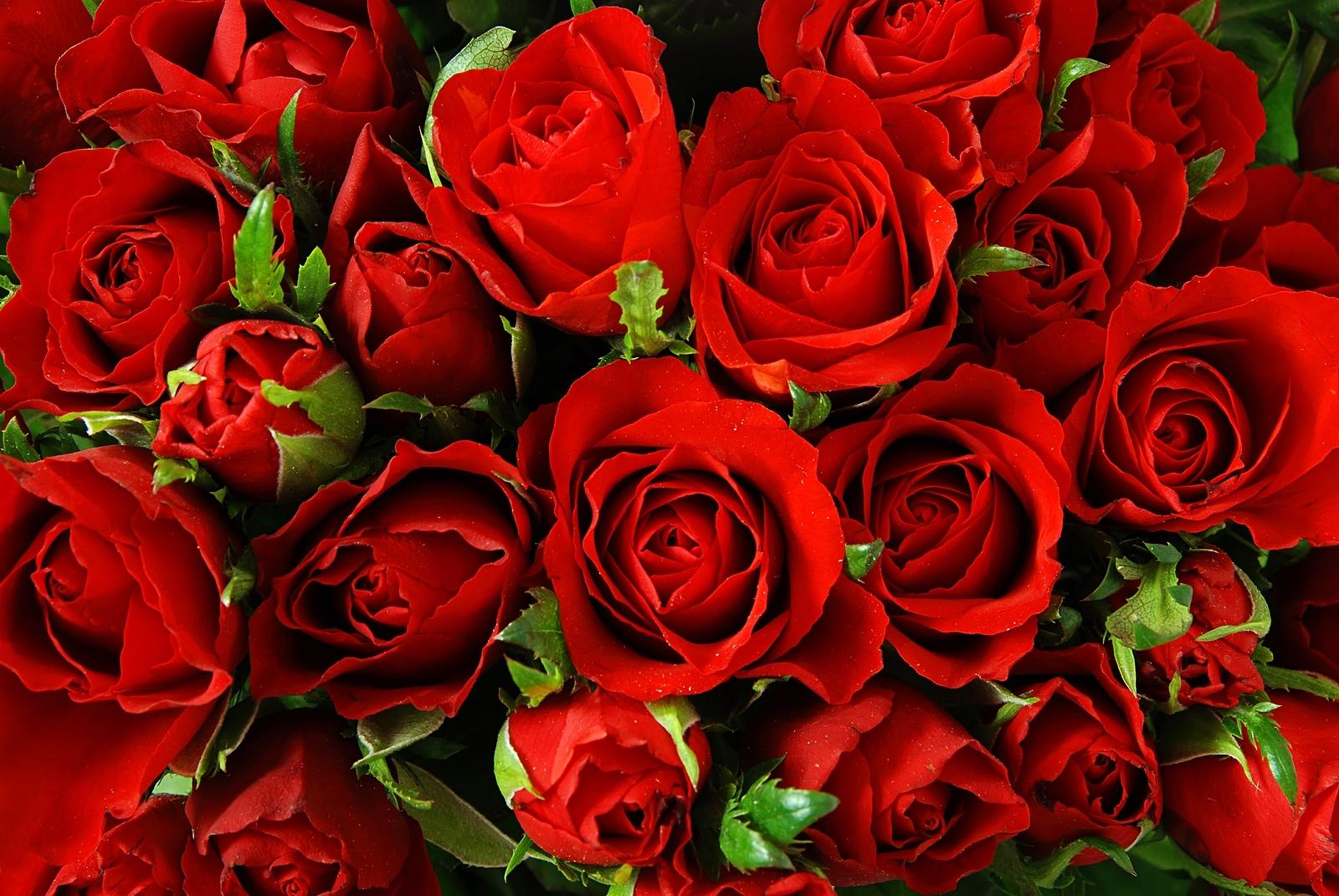 knumathise: red roses tumblr background images