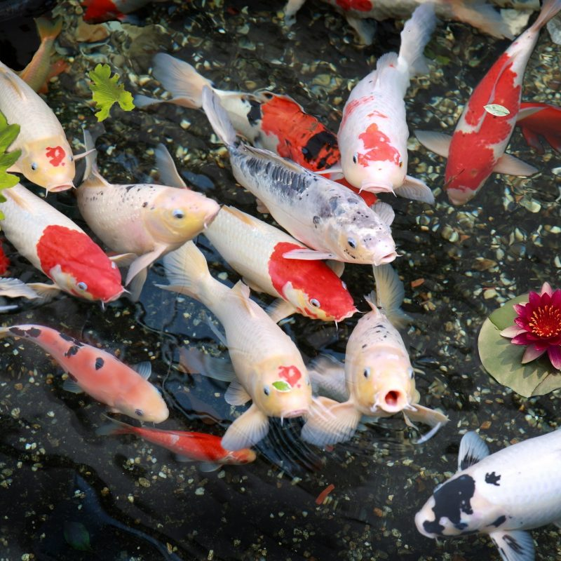 10 Most Popular Koi Fish Wallpaper Hd FULL HD 1080p For PC Background 2021 free download koi carp fish the fishop the fishop 800x800