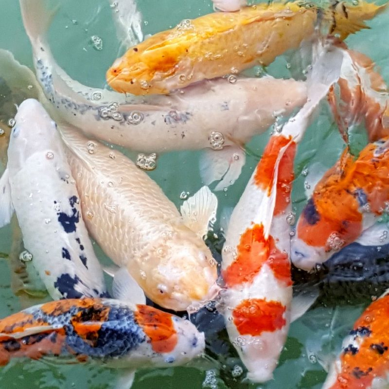 10 most popular koi fish wallpaper hd full hd 1080p for pc