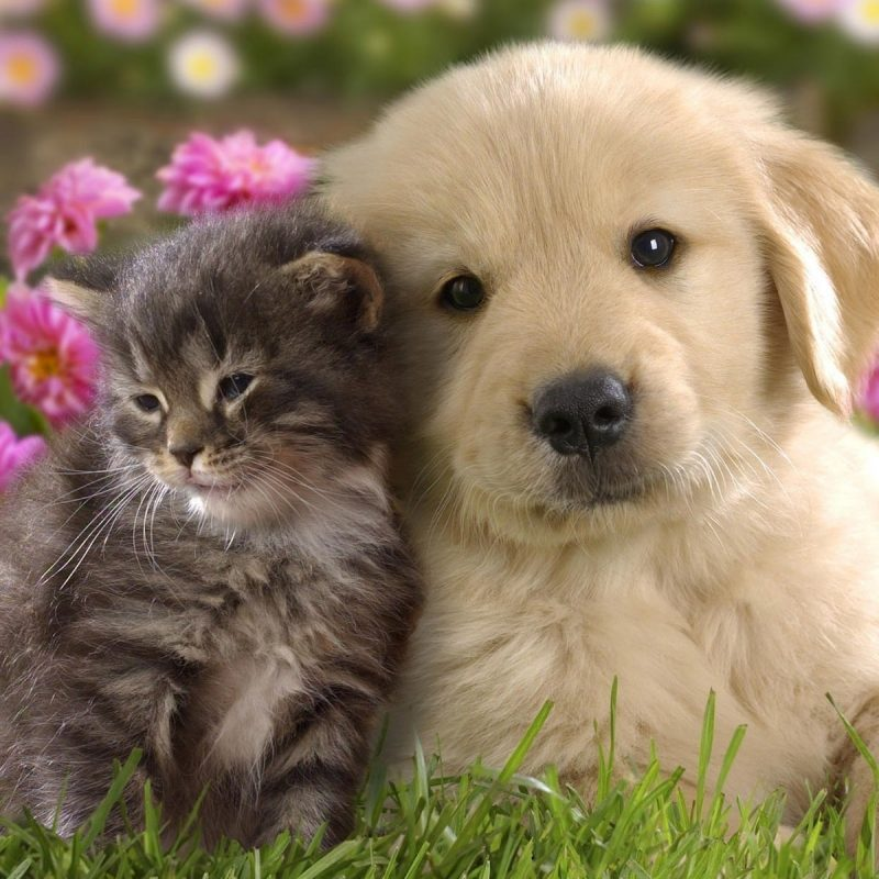 10 Top Puppy And Kitten Wallpaper FULL HD 1920×1080 For PC Background 2020 free download labrador puppy and kitten wallpaper animal wallpapers 10726 800x800