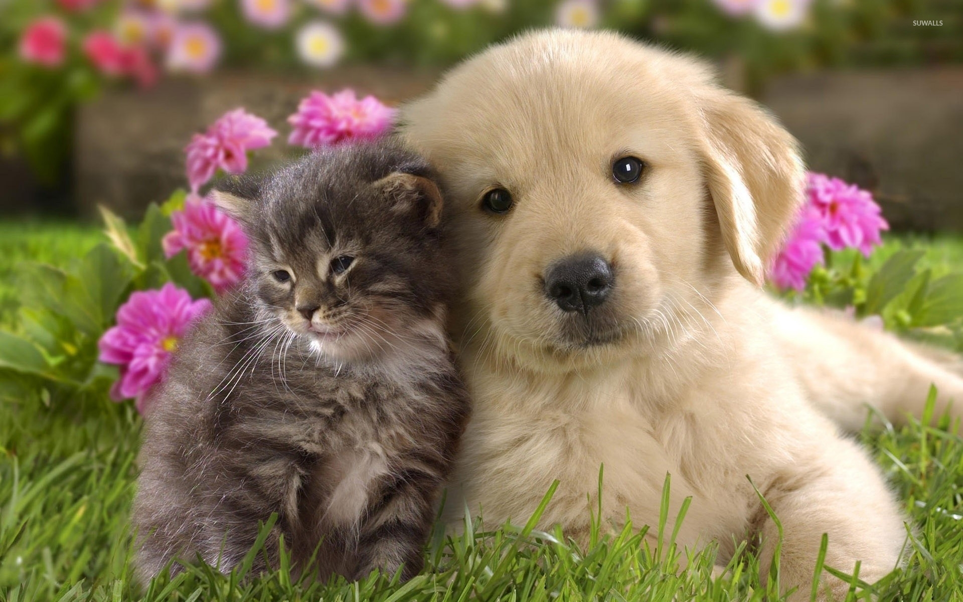 labrador puppy and kitten wallpaper - animal wallpapers - #10726