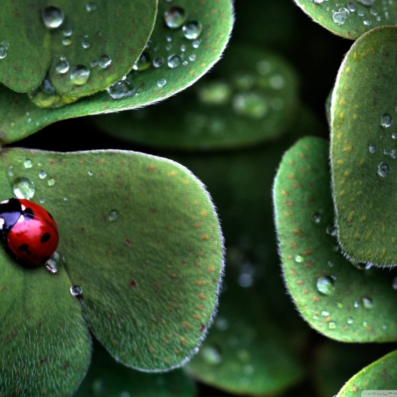 10 Most Popular 4 Leaf Clover Wallpapers FULL HD 1920×1080 For PC Desktop 2020 free download ladybug sitting on a clover leaf e29da4 4k hd desktop wallpaper for 4k 800x800