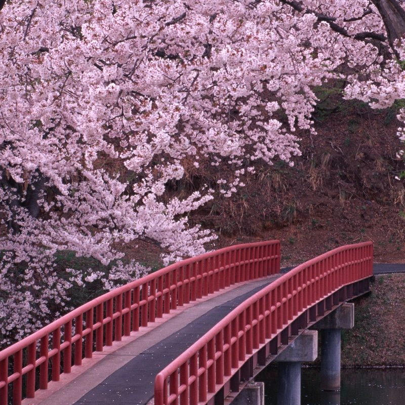10 Top Cherry Blossom Tree Wallpaper FULL HD 1920×1080 For PC Background 2020 free download landscapes cherry blossoms flowers bridges fresh new hd wallpaper 1 800x800