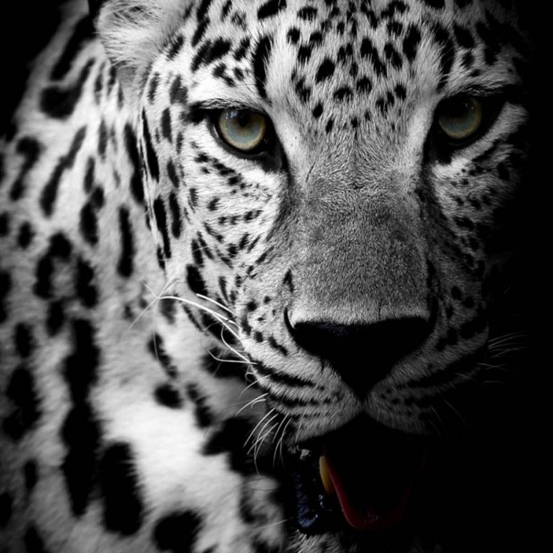 10 Best Black And White Leopard Wallpaper FULL HD 1920×1080 For PC Desktop 2020 free download leopard black white download free 100 pure hd quality mobile 800x800