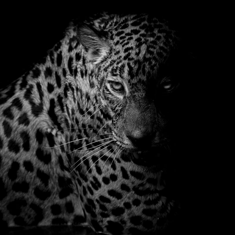 10 Best Black And White Leopard Wallpaper FULL HD 1920×1080 For PC Desktop 2020 free download leopard full hd wallpaper and background image 1920x1279 id672380 800x800