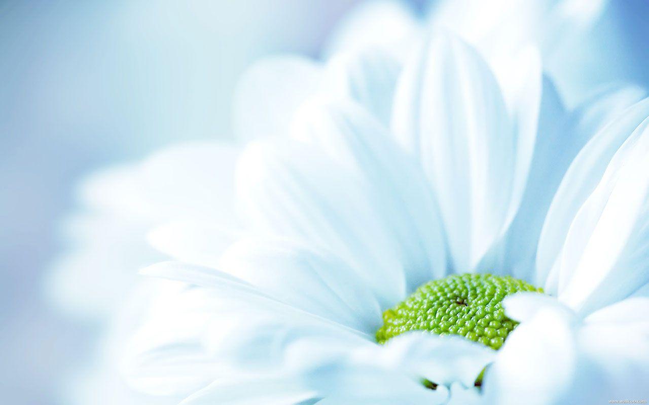 light blue chrysanthemums - flower wallpapers - free download