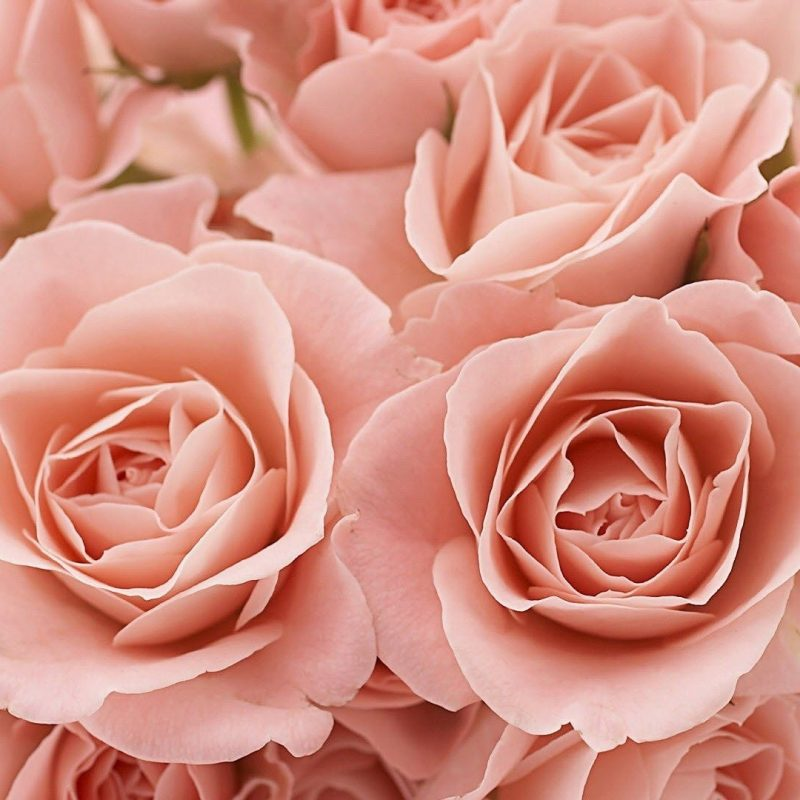10 Most Popular Pink Rose Desktop Wallpaper FULL HD 1080p For PC Background 2018 free download light pink roses background tumblr light pink roses tumblr 1 800x800