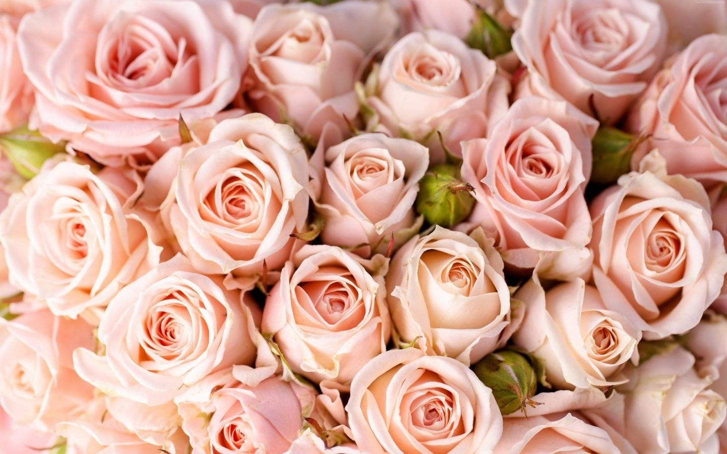 10 Best Pink Rose Background Wallpaper Full Hd 19201080 For Pc