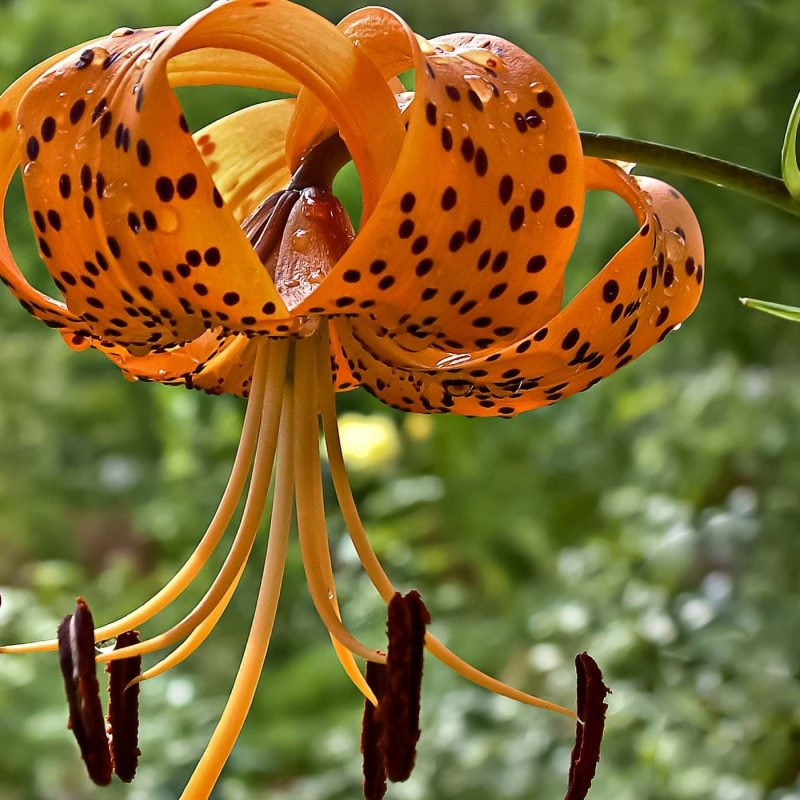 10 Latest Images Of Tiger Lily FULL HD 1920×1080 For PC Desktop 2018 free download lily poisoning in dogs symptoms causes diagnosis treatment 2 800x800