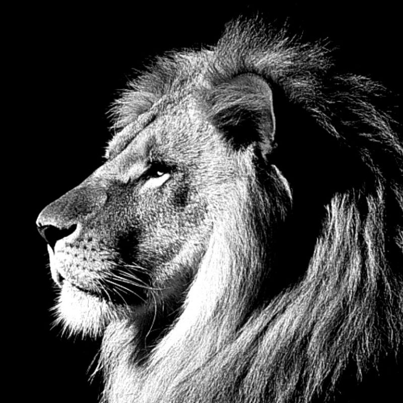 10 Most Popular Black And White Lion Background FULL HD 1080p For PC Desktop 2020 free download lion black and white cool backgrounds wallpapers 6369 amazing 800x800