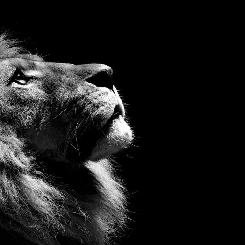10 Latest Lion Desktop Wallpaper Hd FULL HD 1080p For PC Background 2018 free download lion black and white hd animals 4k wallpapers images backgrounds 800x800
