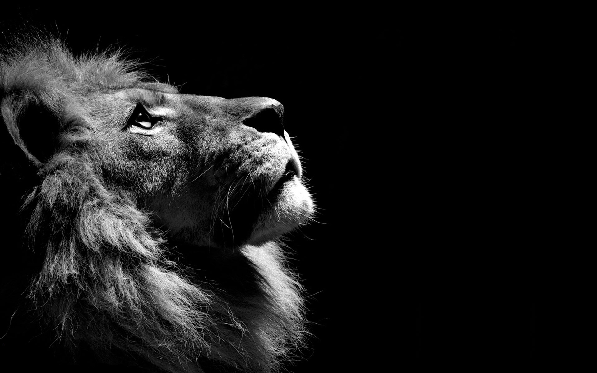 lion black and white, hd animals, 4k wallpapers, images, backgrounds