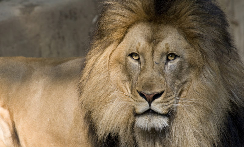 10 Most Popular Picture Of Lion FULL HD 1080p For PC Background 2018 free download lion cam smithsonians national zoo 800x483