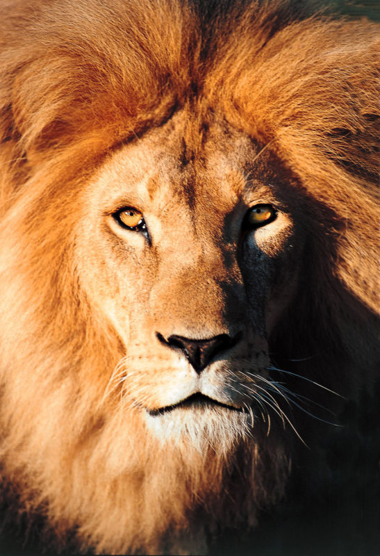 10 Most Popular Picture Of Lion FULL HD 1080p For PC Background 2018 free download lion panthera leo 547x800