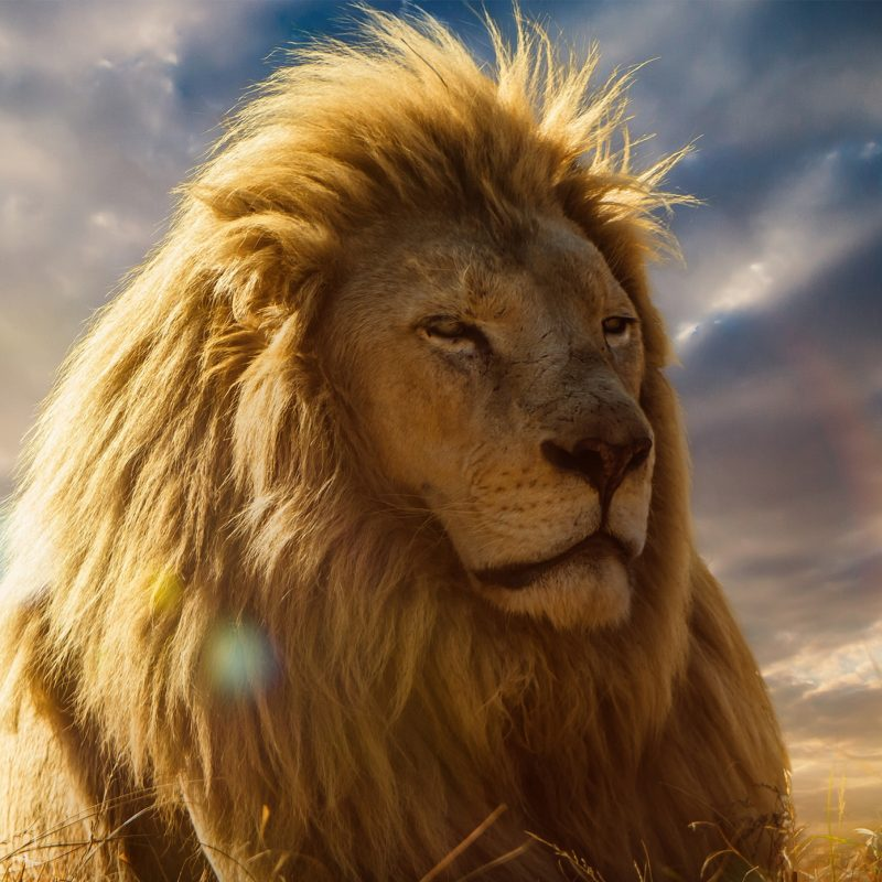 10 Latest Lion Desktop Wallpaper Hd FULL HD 1080p For PC Background 2018 free download lion pics 24 800x800