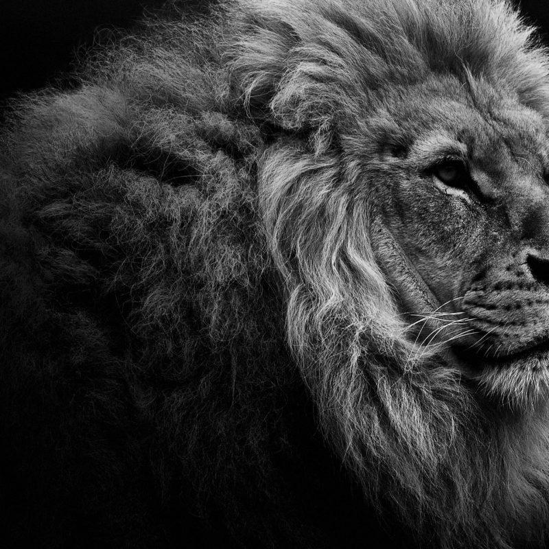 10 Latest Lion Desktop Wallpaper Hd FULL HD 1080p For PC Background 2020 free download lion portrait bw desktop wallpaper 800x800