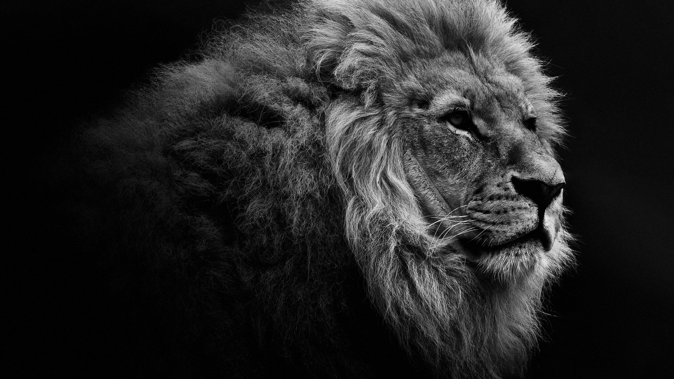 lion portrait bw desktop wallpaper