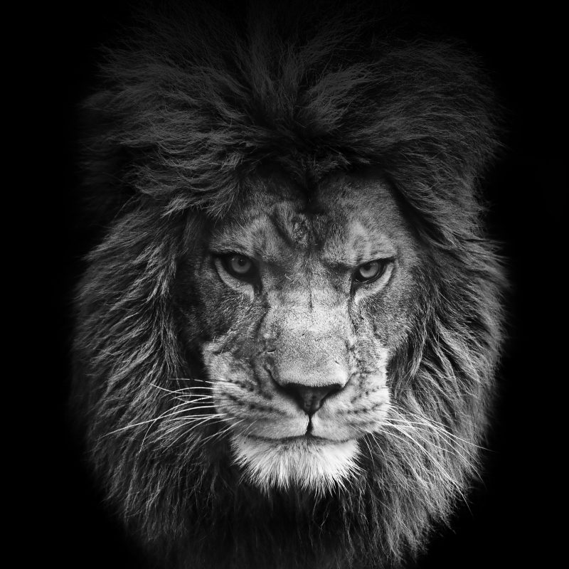 10 Most Popular Angry Lion Wallpaper Black And White FULL HD 1080p For PC Desktop 2018 free download lion wallpaper google kereses animals pinterest lion 800x800