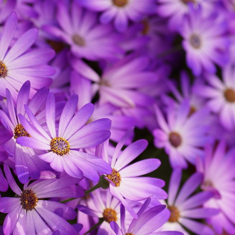 10 New Pic Of Purple Flowers FULL HD 1920×1080 For PC Desktop 2018 free download little purple flowers hd hd desktop background 800x800