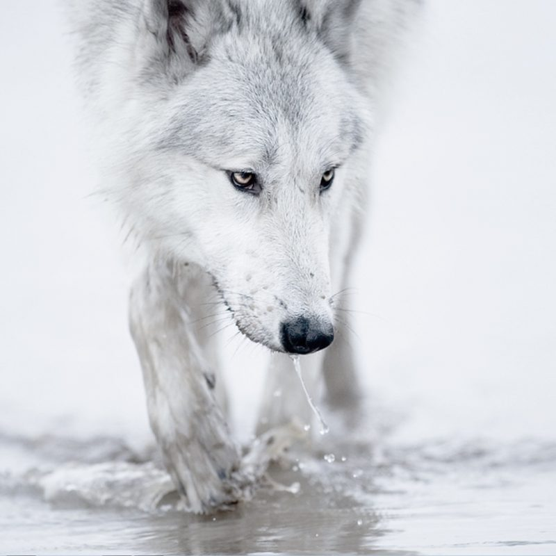 10 Latest Wolves In Snow Wallpaper FULL HD 1920×1080 For PC Background 2021 free download loic dl wallpapers winter snow white wolf arctic 800x800