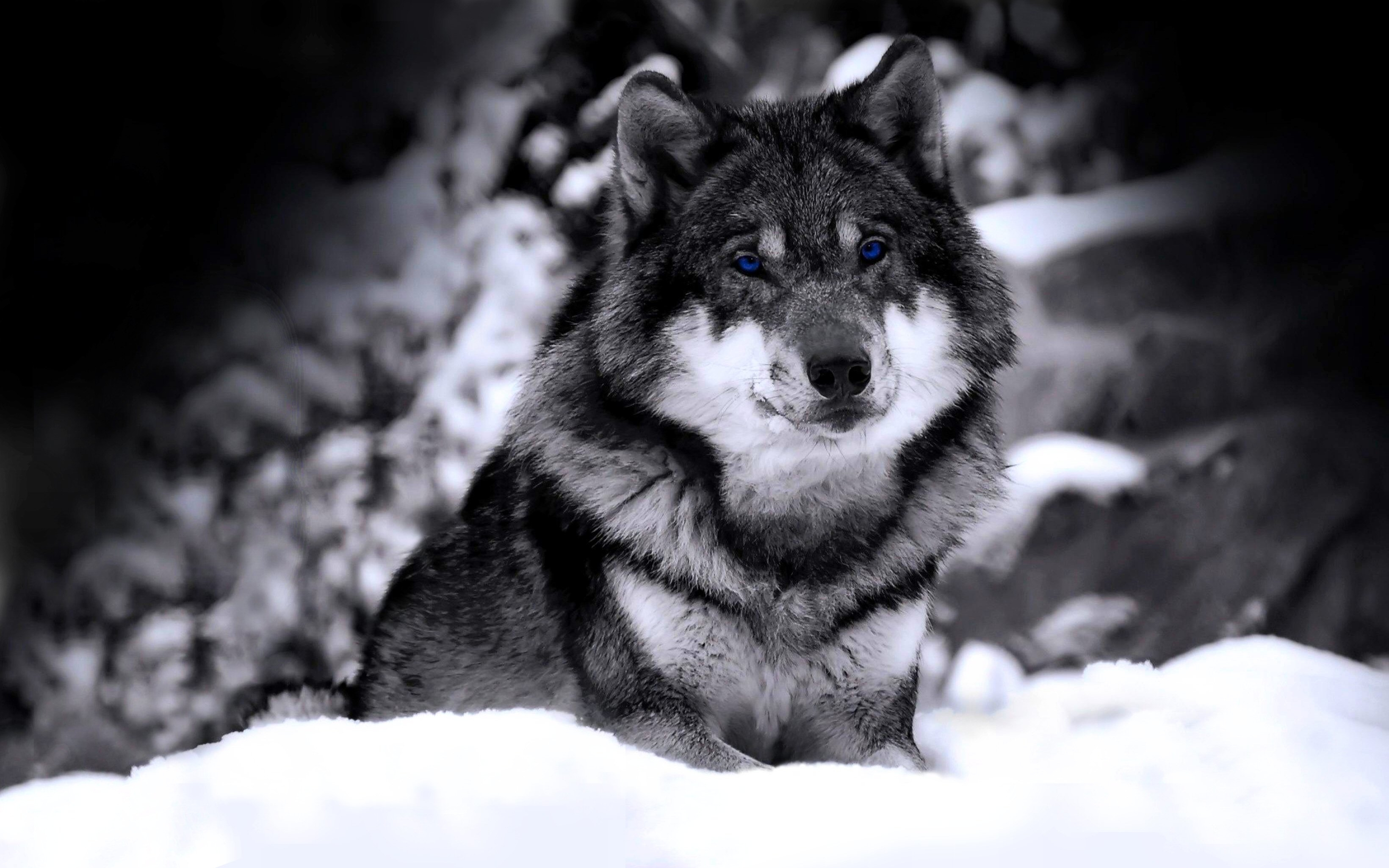 10 Most Popular Cool Wolf Wallpaper Hd FULL HD 1080p For ...