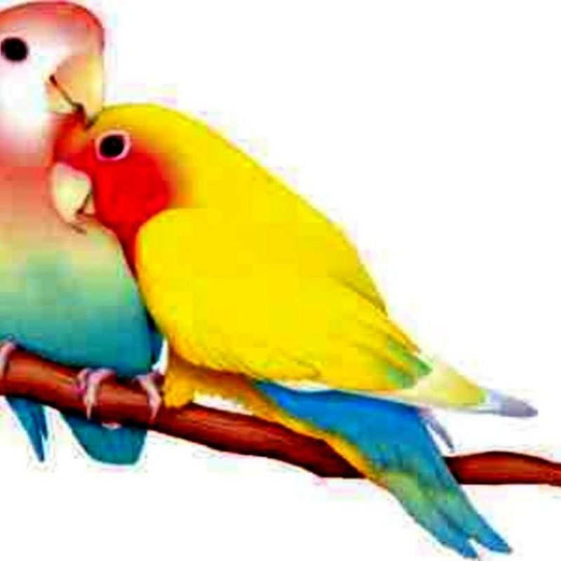 10 Top Images Of Love Bird FULL HD 1920×1080 For PC Background 2020 free download love birds graphic love bird wallpaper background hd for pc mobile 800x800
