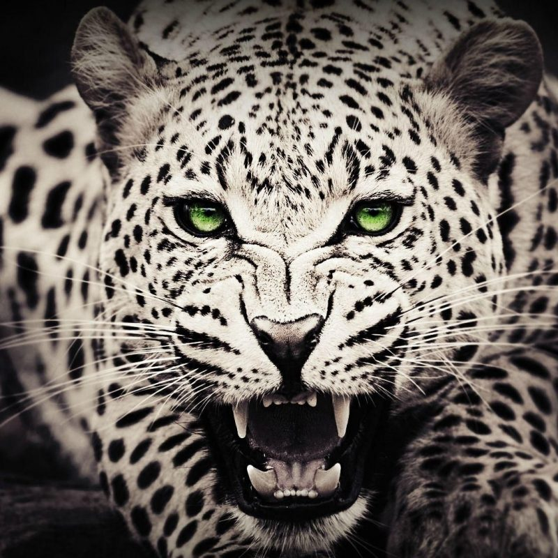 10 Latest Cool Wallpapers Of Animals FULL HD 1080p For PC Background 2018 free download lovely high definition wallpapers of white leopards free donload 800x800