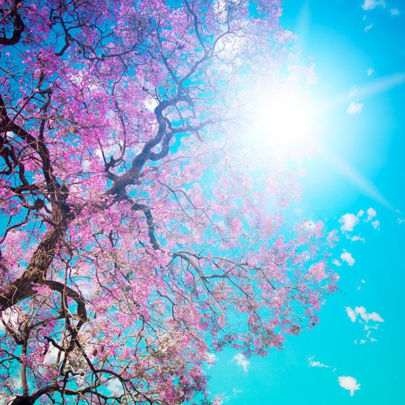 10 Top Cherry Blossom Tree Wallpaper FULL HD 1920×1080 For PC Background 2020 free download low angle photography of cherry blossom tree with blue sky hd 800x800