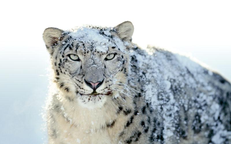 10 Latest Snow Leopard Wallpaper Mac FULL HD 1920×1080 For PC Desktop 2021 free download mac snow leopard wallpaper wallpapersafari 800x500